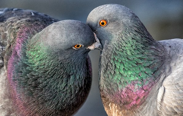 Wallpaper birds pigeons pair wallpapers animals   download 596x380