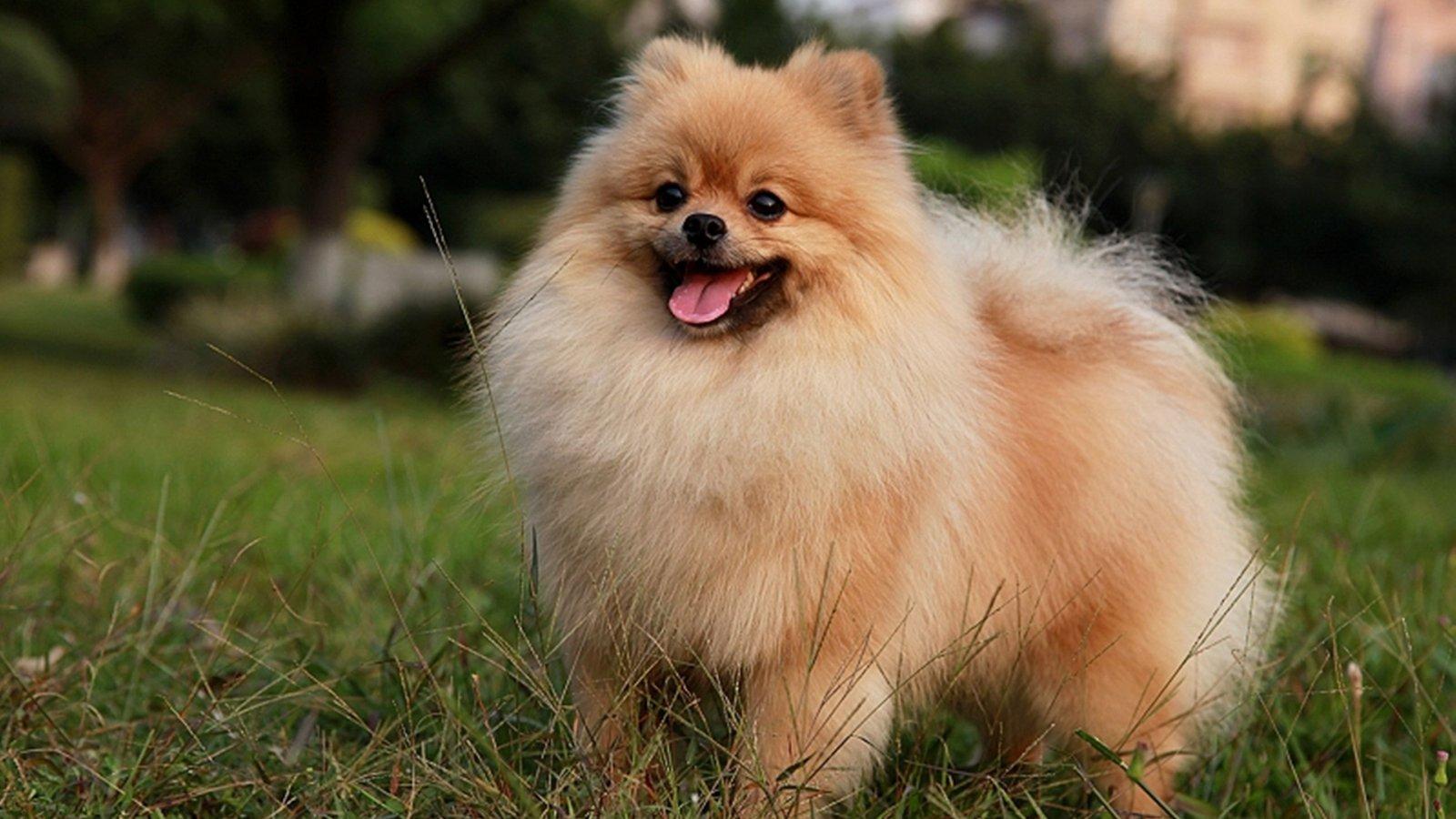Where Can I Buy A Boo Dog