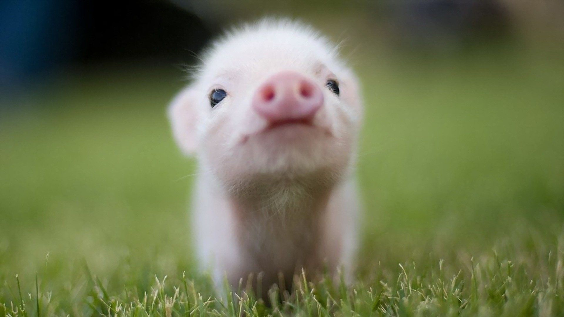 Baby Pig Wallpapers   Top Baby Pig Backgrounds   WallpaperAccess 1920x1080