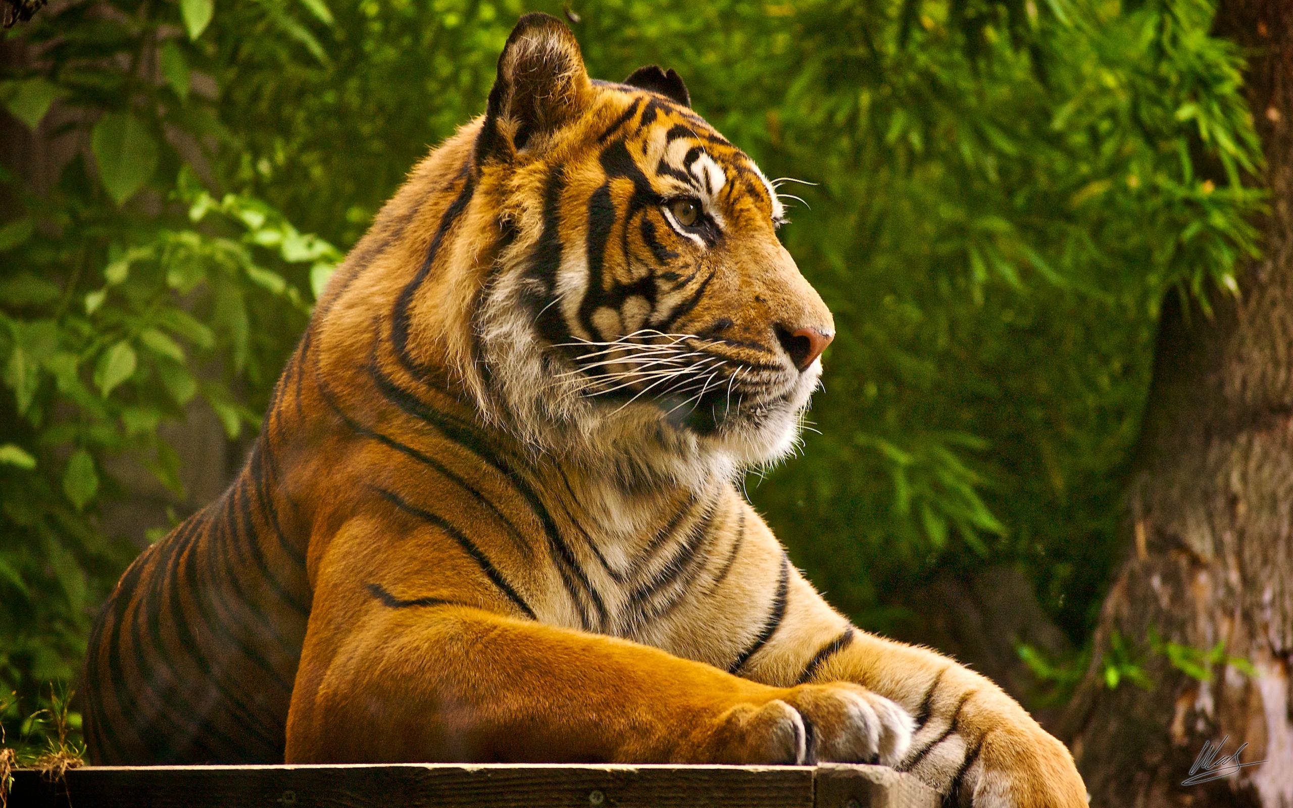 Sumatran Tiger Wallpapers HD Wallpapers 2560x1600