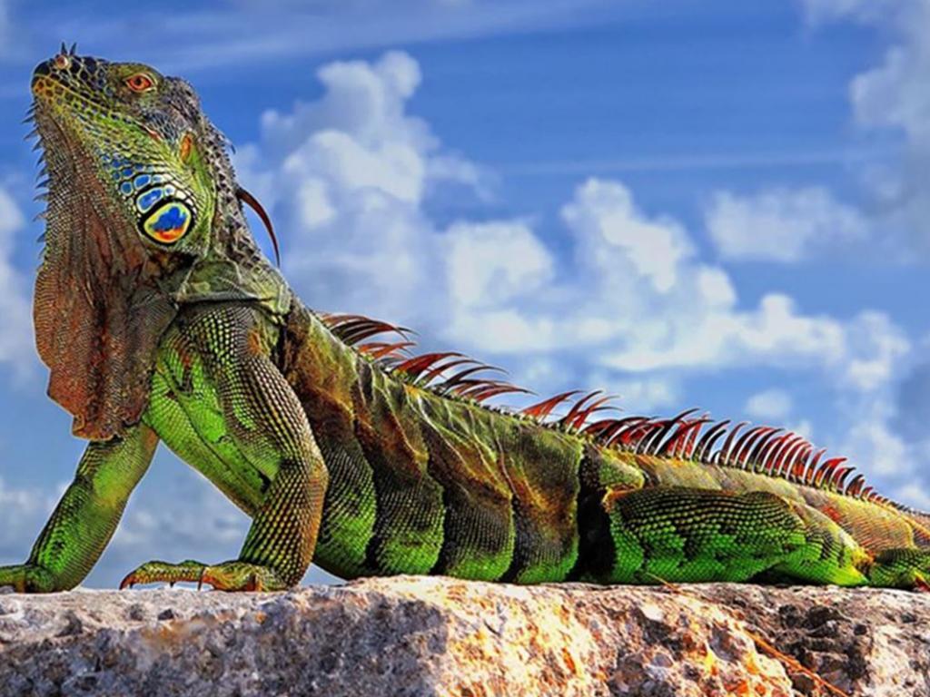 Iguana Wallpaper 26   1280 X 800 stmednet 1024x768