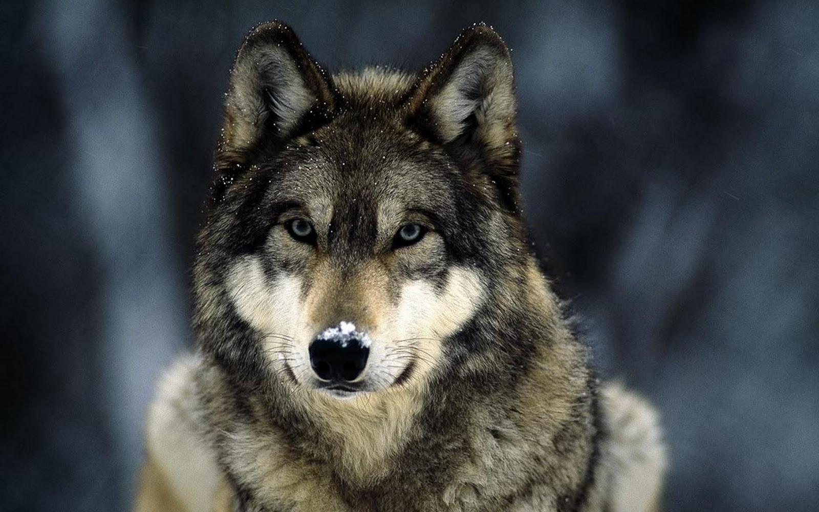 grey wolf snow grey wolf snow 1680x1050jpg 1600x1000