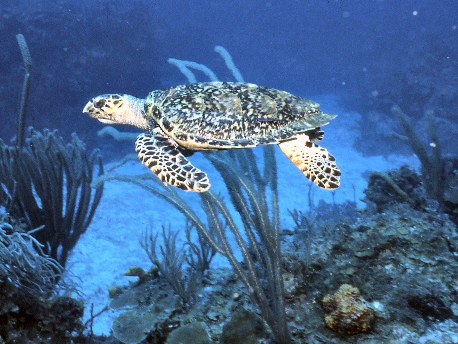 Beautiful Sea Turtle WallpapersTurtle Wallpapers Pictures 1600x1200