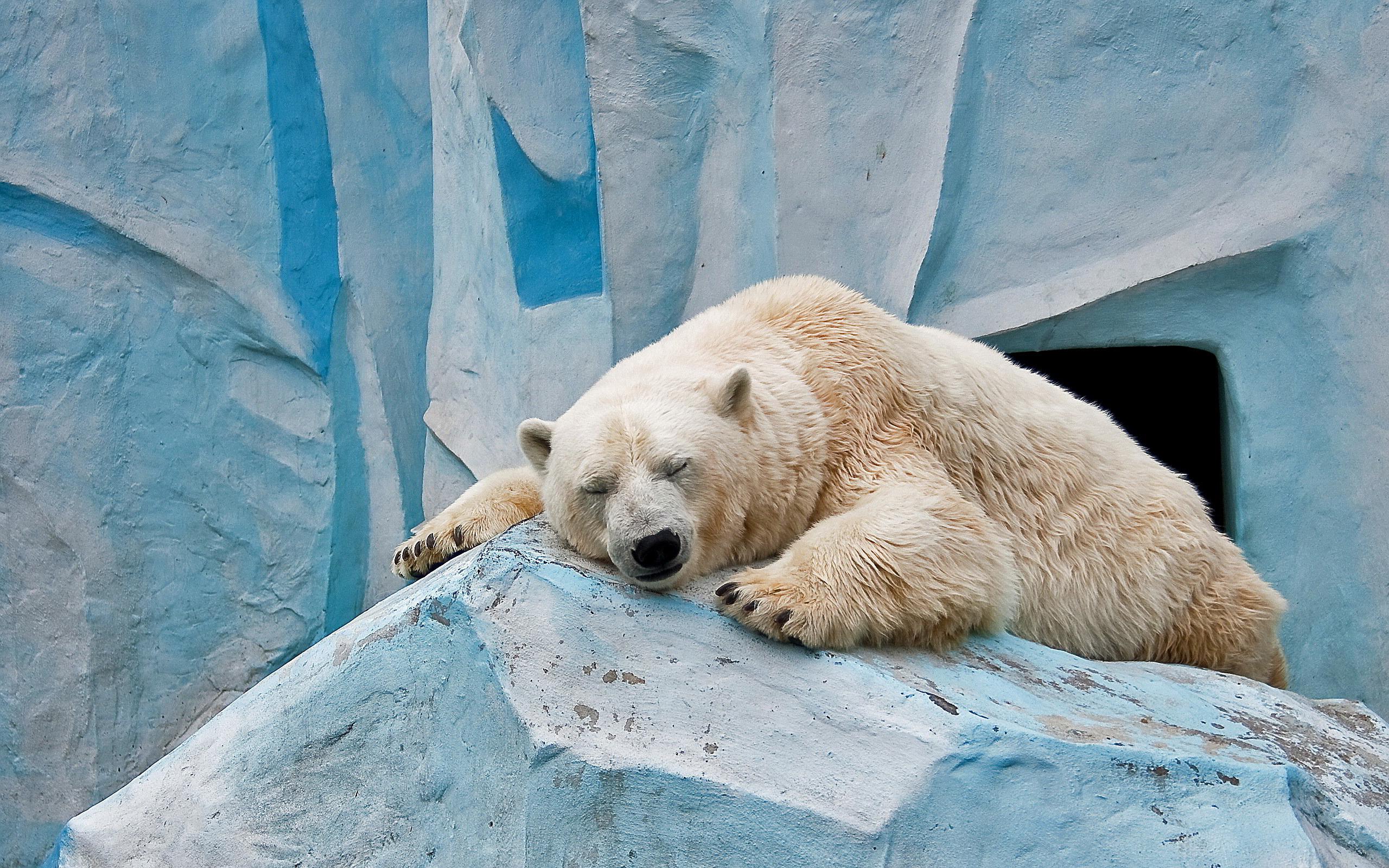 Ice bear sleeping wallpaper 2560x1600 13461 2560x1600
