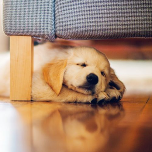 HD Puppy Sleeping Under The Couch Wallpaper 500x500