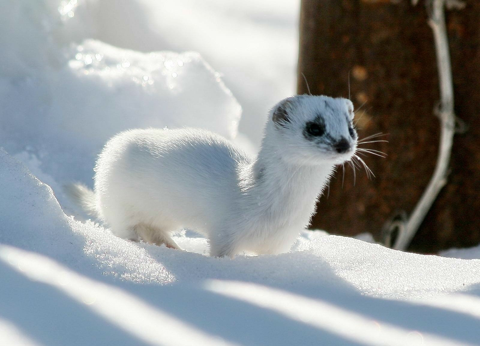 Winter Ferret Ermine 1600 x 1154 Download Close 1600x1154