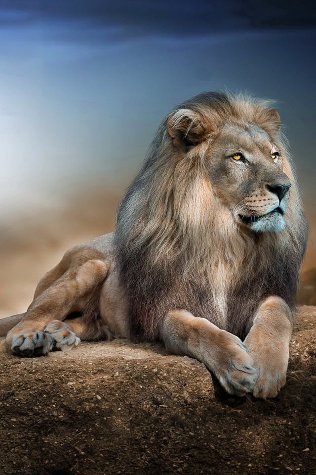 Male Lion Wallpaper   iPhone Wallpapers 640x960