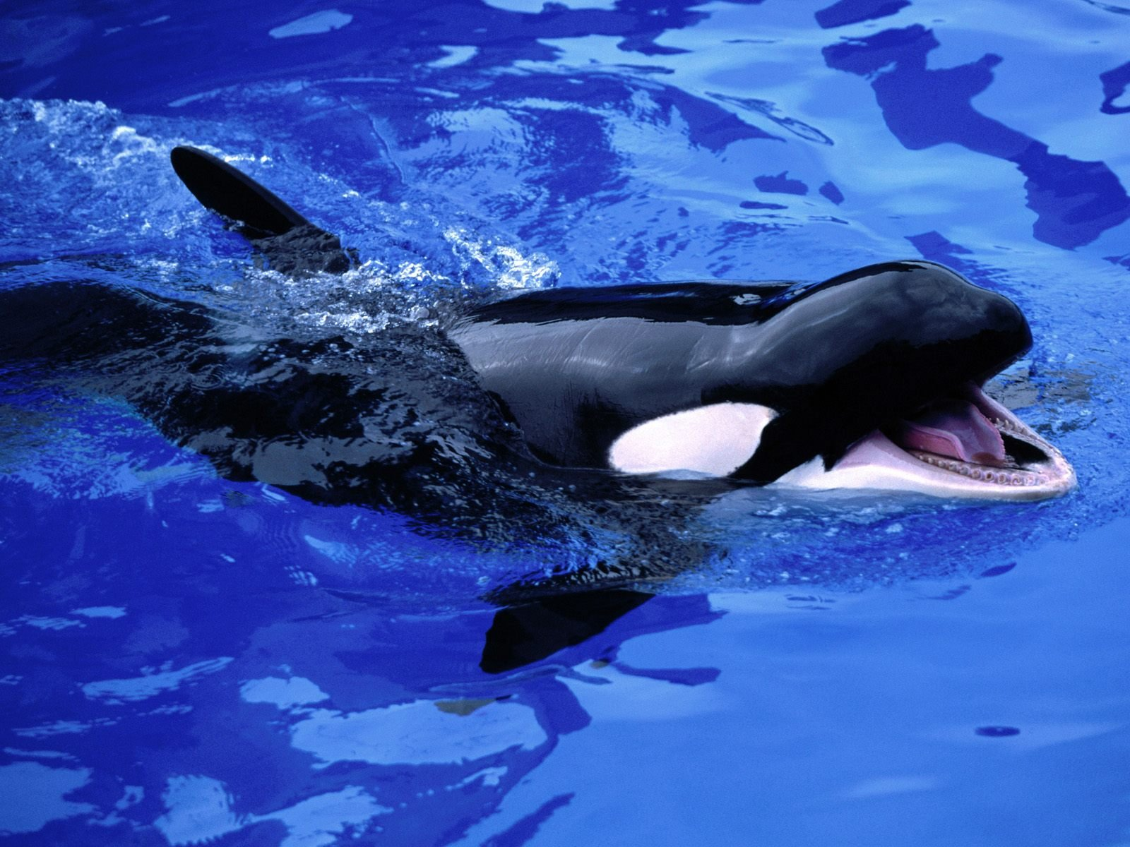 killer whales wallpapers   Funny Animals 1600x1200