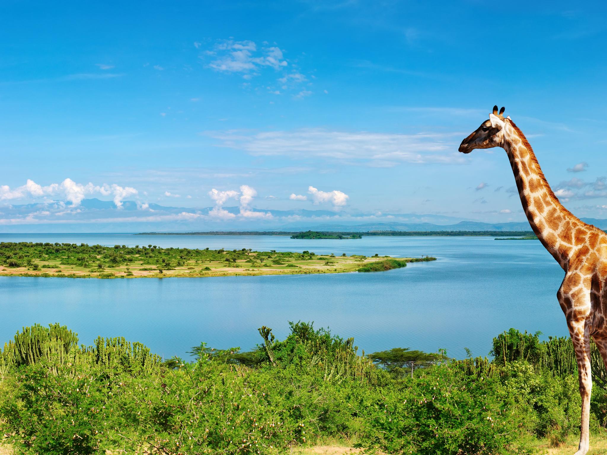 Giraffe at Nile river 4K Ultra HD wallpaper 4k WallpaperNet 2048x1536
