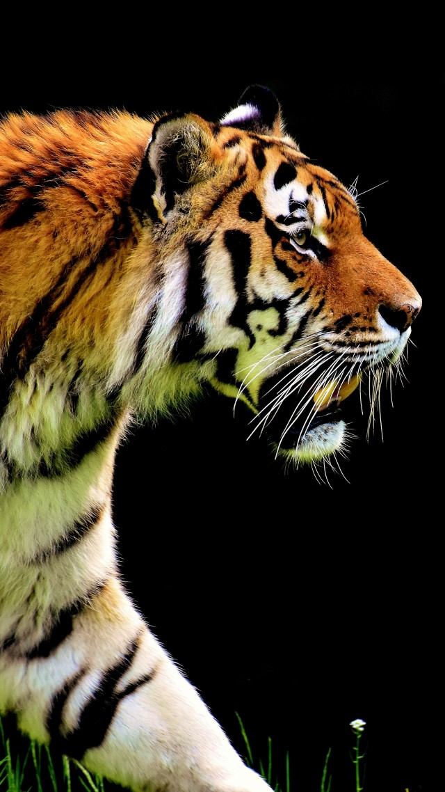Free Download 4k Tiger Wallpaper 30 Image Collections Of Wallpapers 640x1138 For Your Desktop Mobile Tablet Explore 19 4k Tiger Wallpapers 4k Tiger Wallpapers Tiger Wallpapers Wallpaper Tiger
