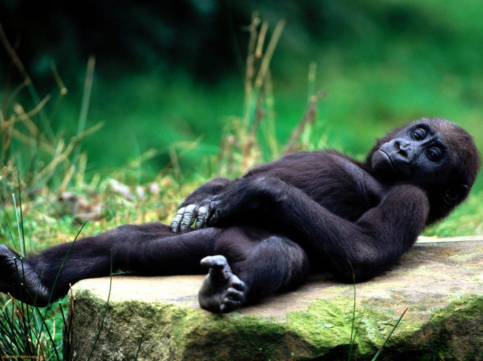 Very Sweet and Cute Animals Funny Gorilla wallpaper 1600x1198