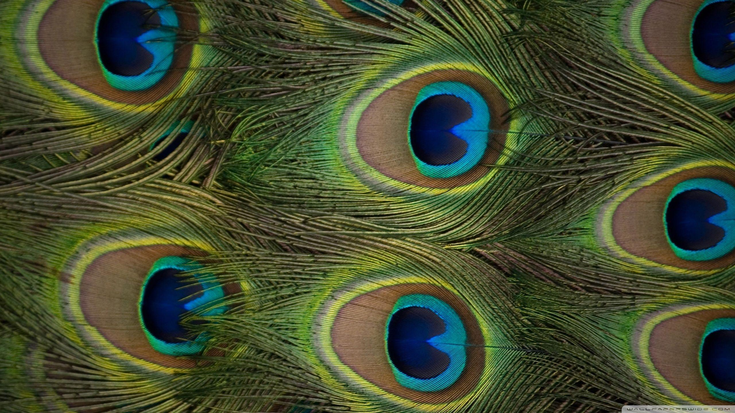 Wallpapers Of Peacock Feathers HD 2016 2560x1440