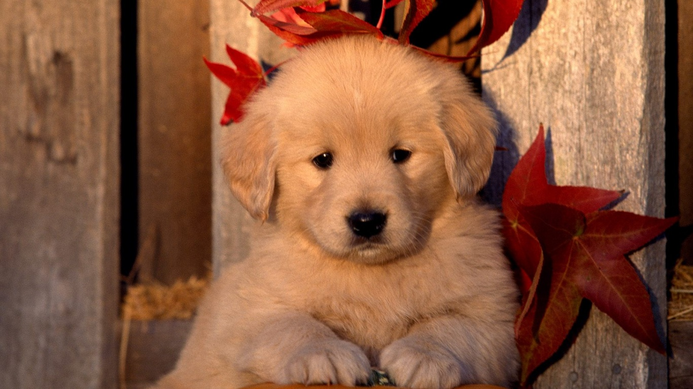 Free Download Cute Golden Retriever Wallpaper Dogs Photo 35950333 1366x768 For Your Desktop Mobile Tablet Explore 49 Cute Golden Retriever Puppies Wallpaper Free Golden Retriever Puppy Wallpaper Spring Golden