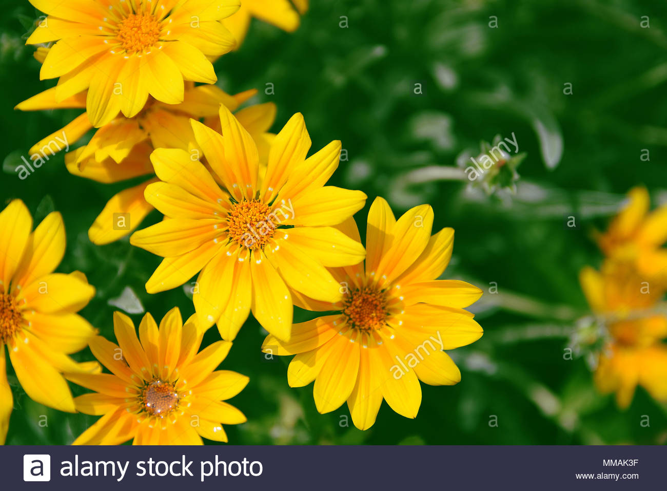 Yellow marguerites and dysies against a green natural background 1300x956