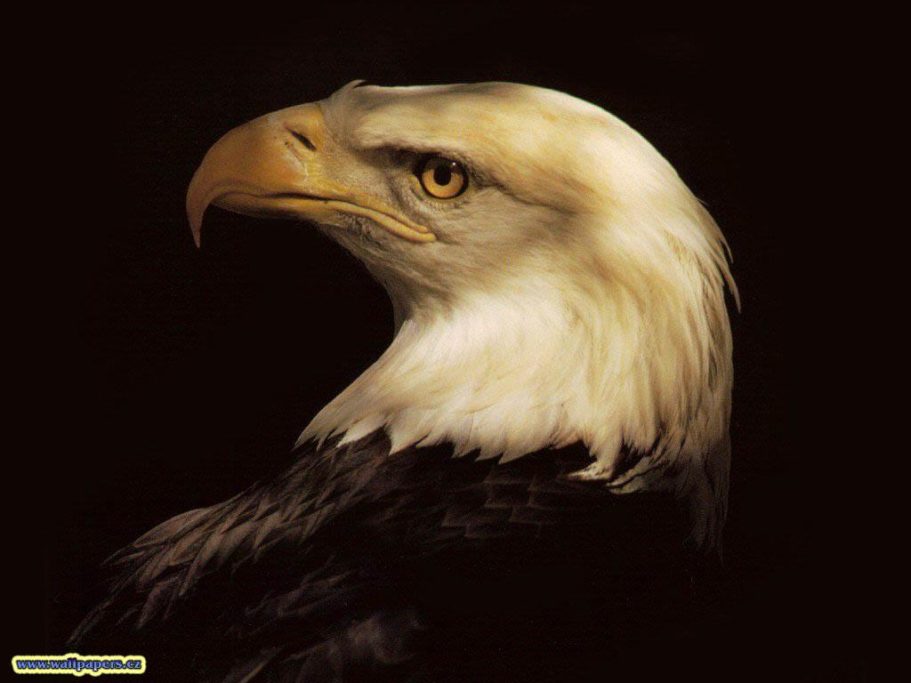 Eagle wallpaper 1024x768