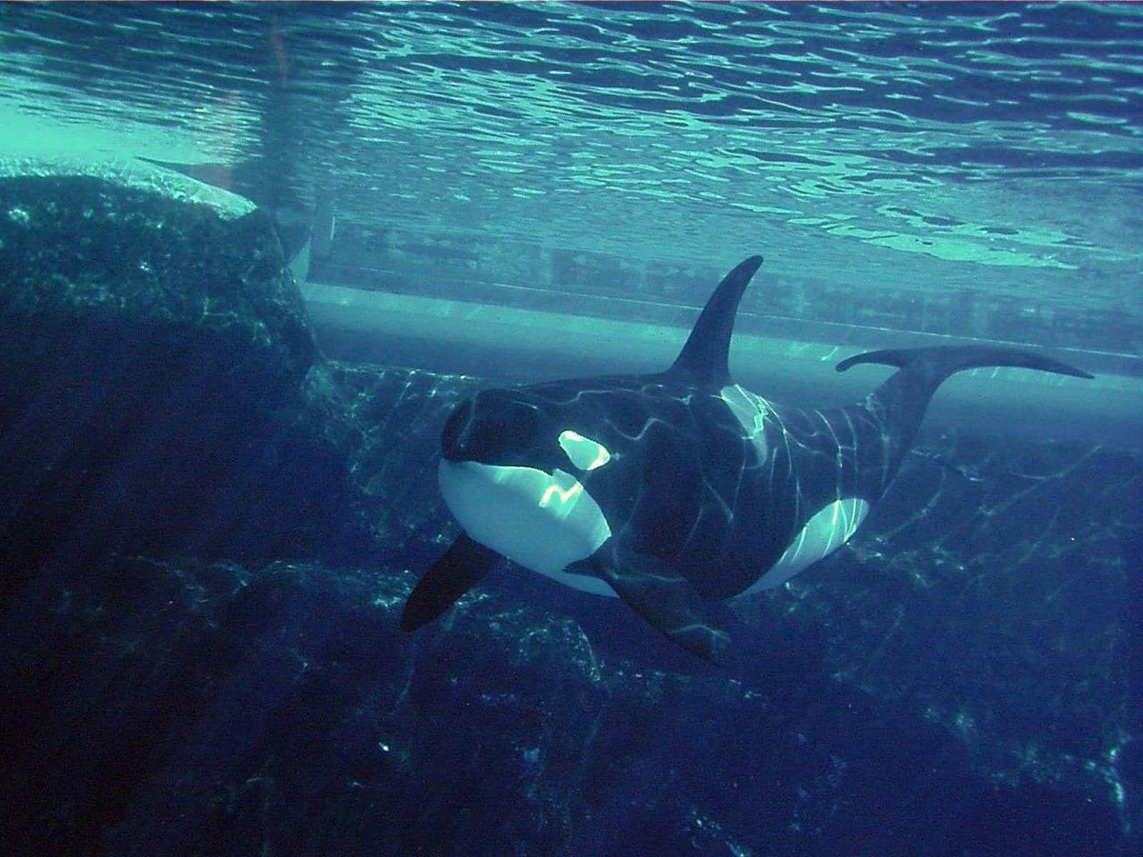 Orca Wallpaper 1980x1080p   Picseriocom 1600x1200