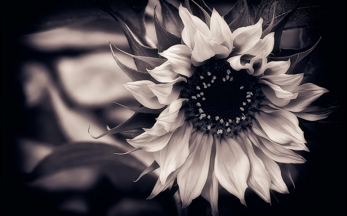 Free Download Black And White Flower Wallpaperhtmlblack And