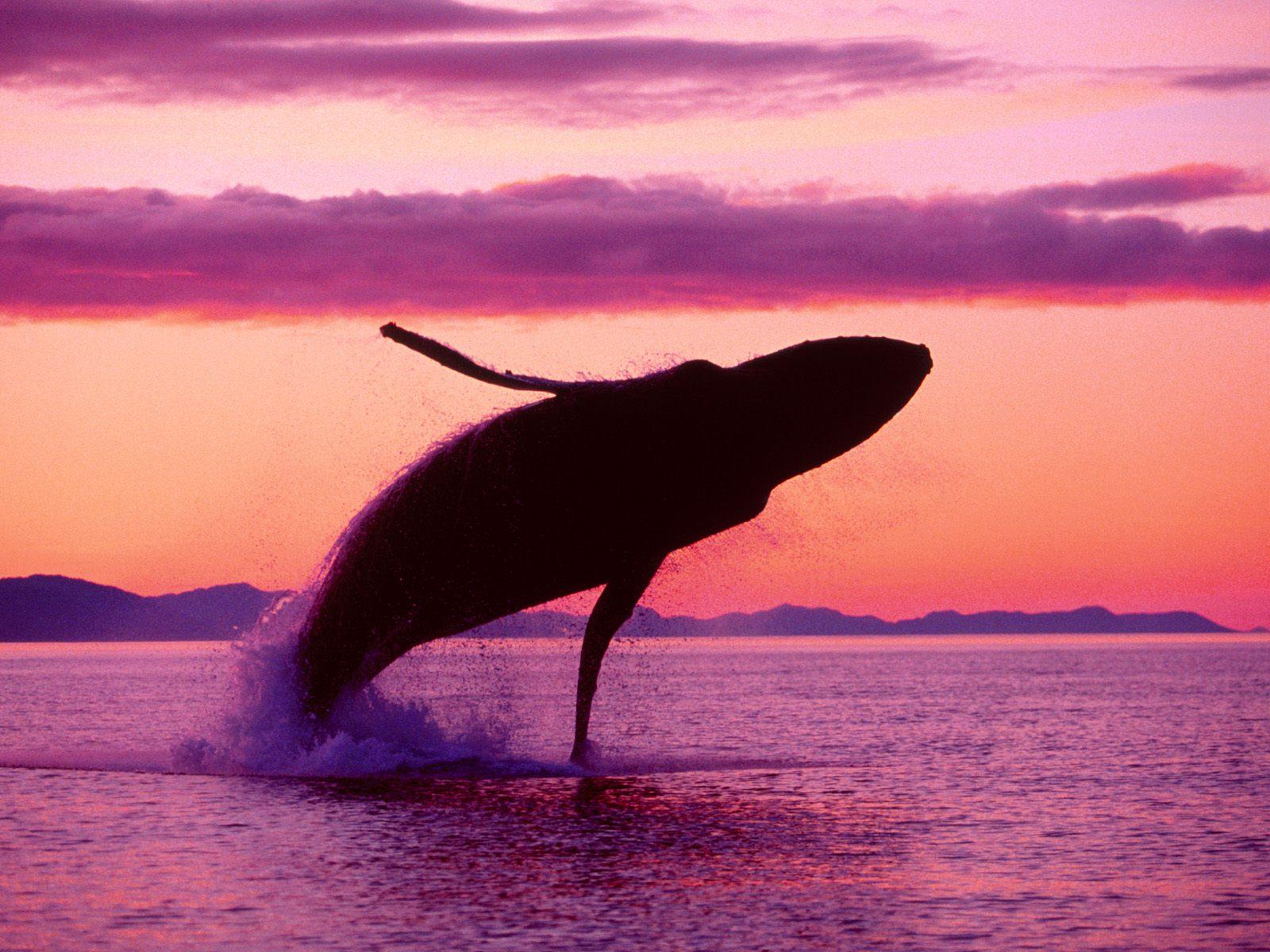 Hump Back Whale   Humpback Whales Wallpaper 32310746 1600x1200