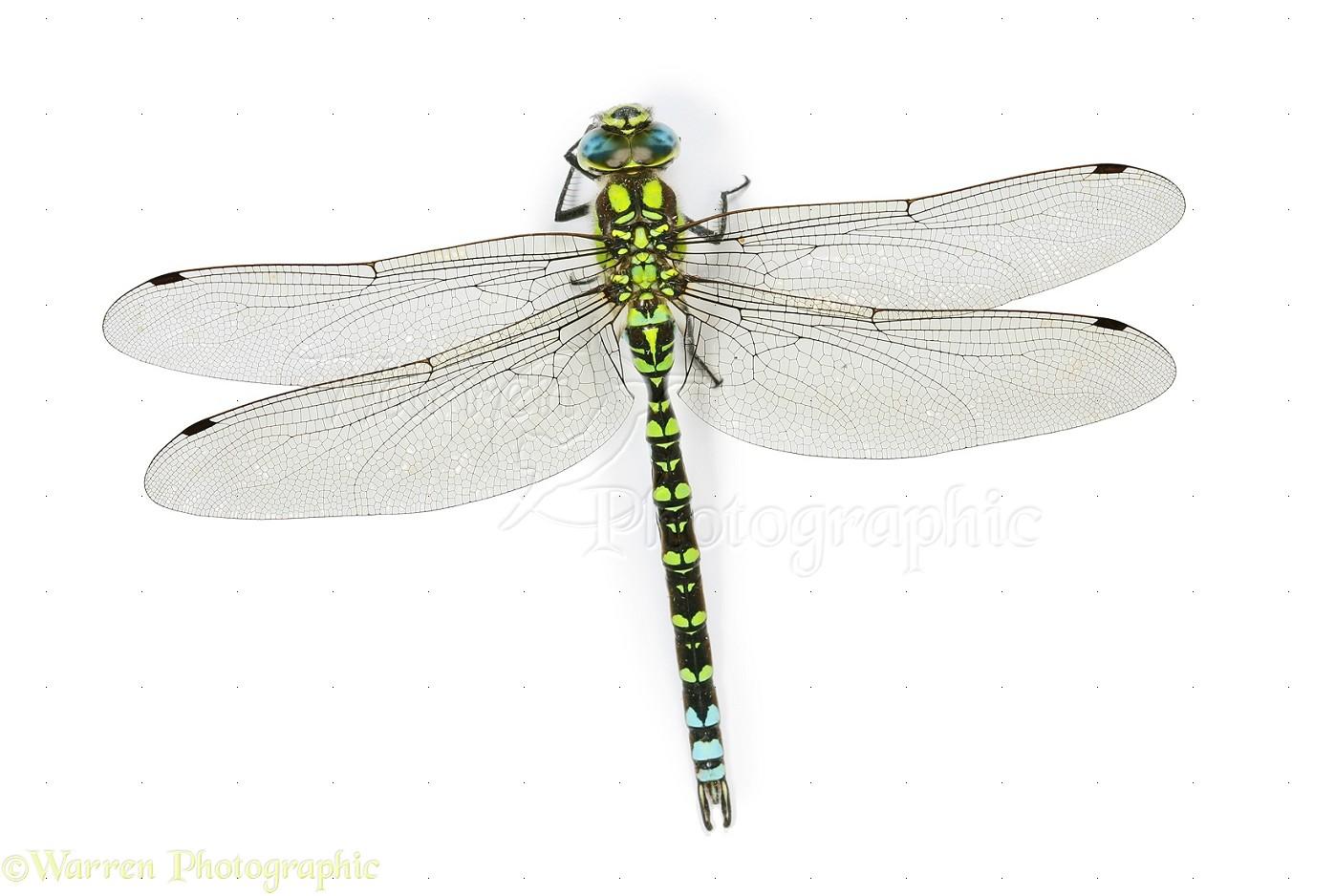 WP26066 Southern Hawker Dragonfly Aeshna cyanea male 1397x938