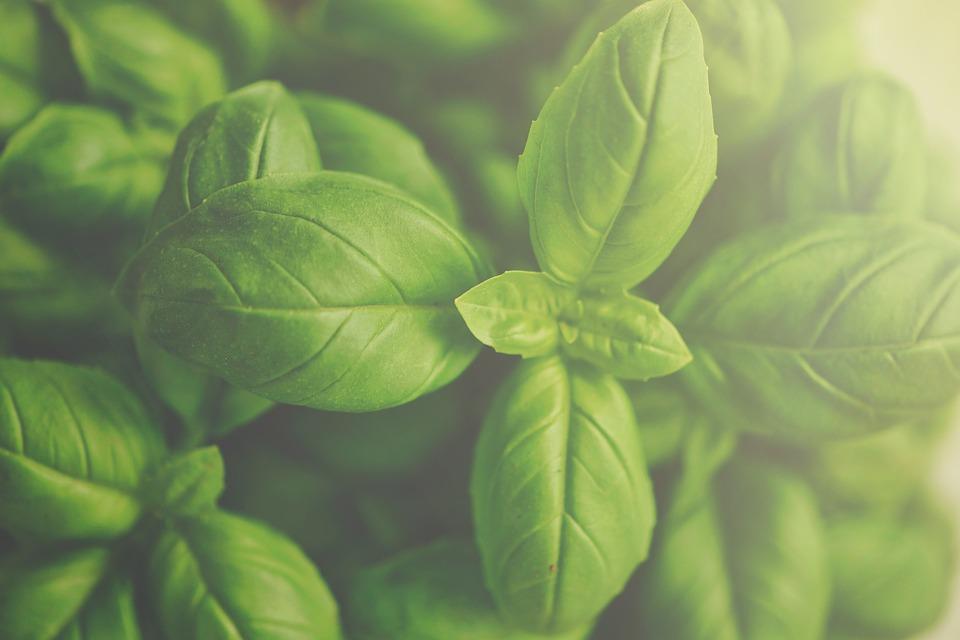 photo Basil Wallpaper Organic Herb Green Food Fresh   Max Pixel 960x640