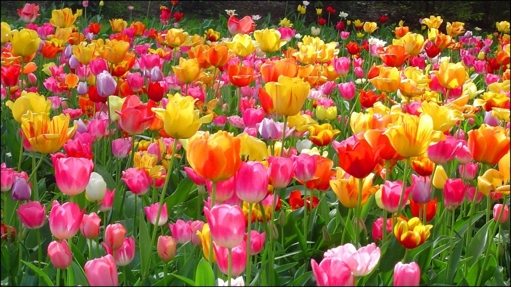 free beautiful flowers wallpapers for desktop coolstyle wallpapers 1024x576