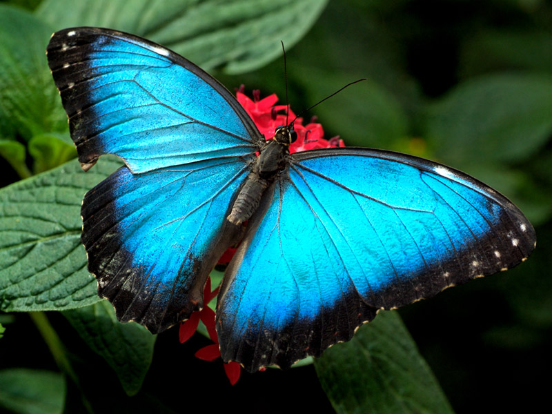 Wallpapers Background Butterfly HD Wallpapers 800x600