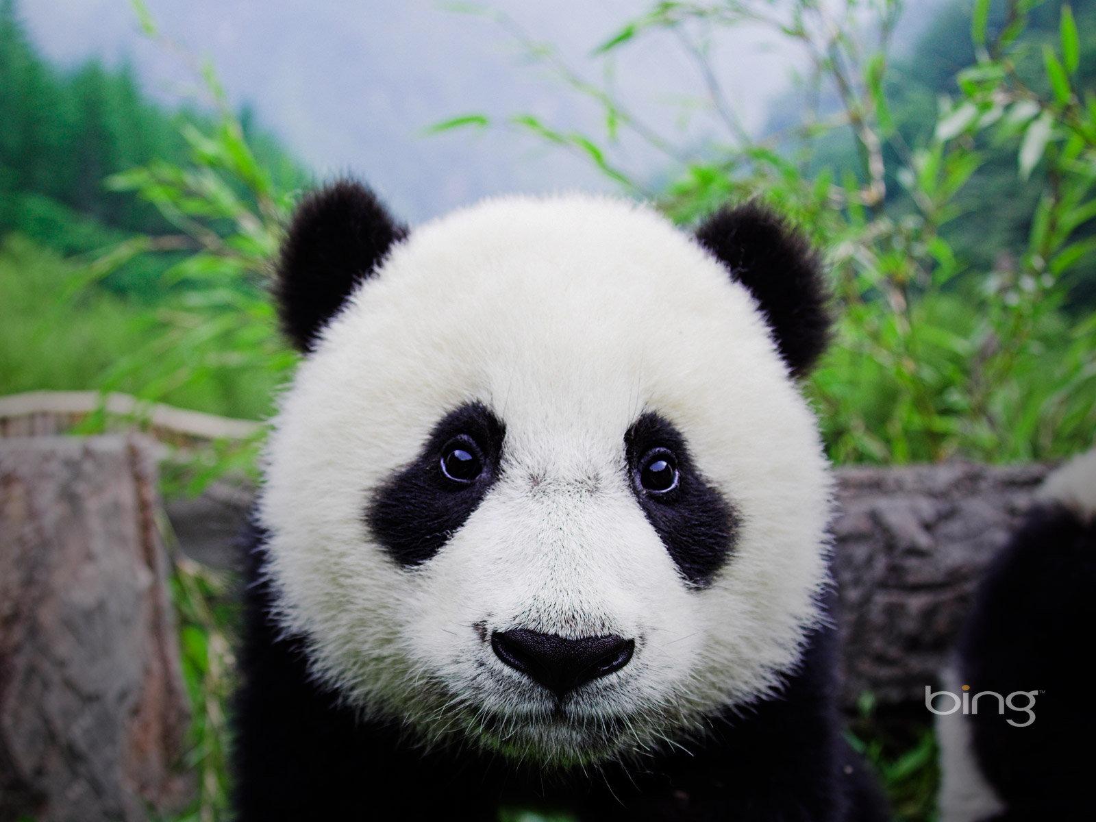 Description Baby panda Wolong Panda Center China Current Size 1600 x 1600x1200
