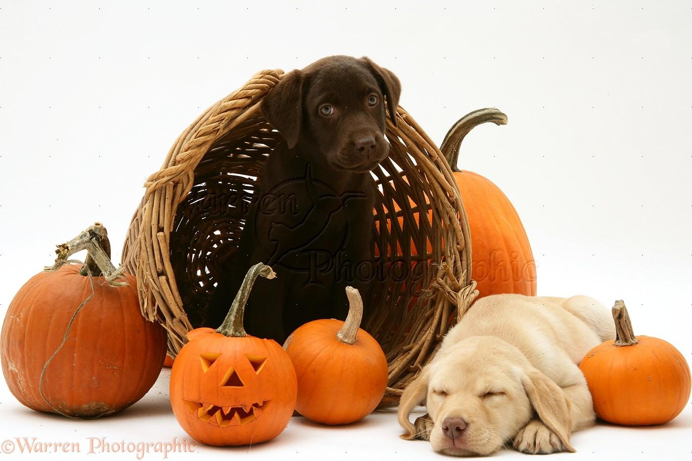 Halloween Puppies Pups at halloween 1402x935