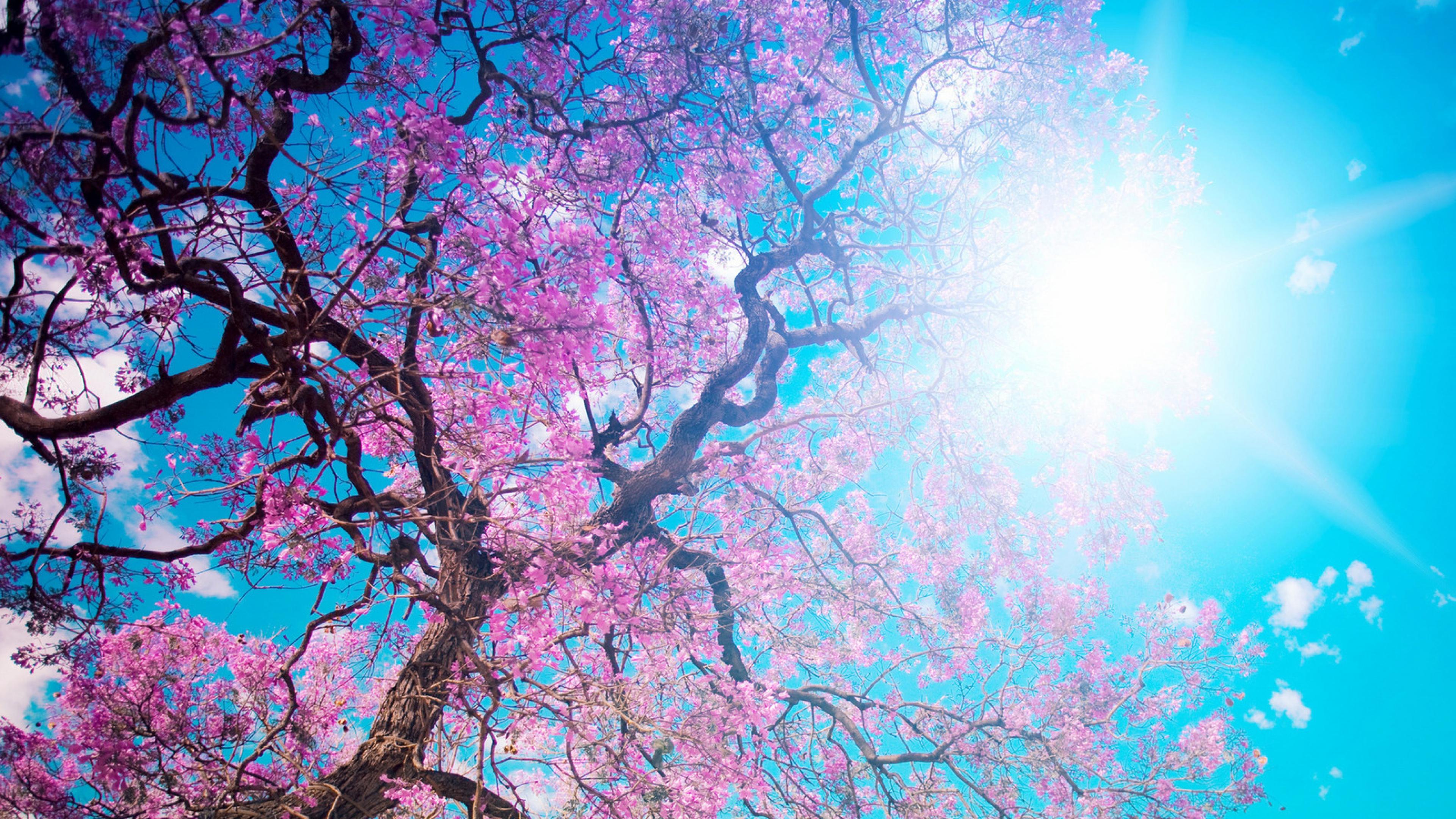 3840x2160 Wallpaper o hanami blossom festival and to enjoy the cherry 3840x2160