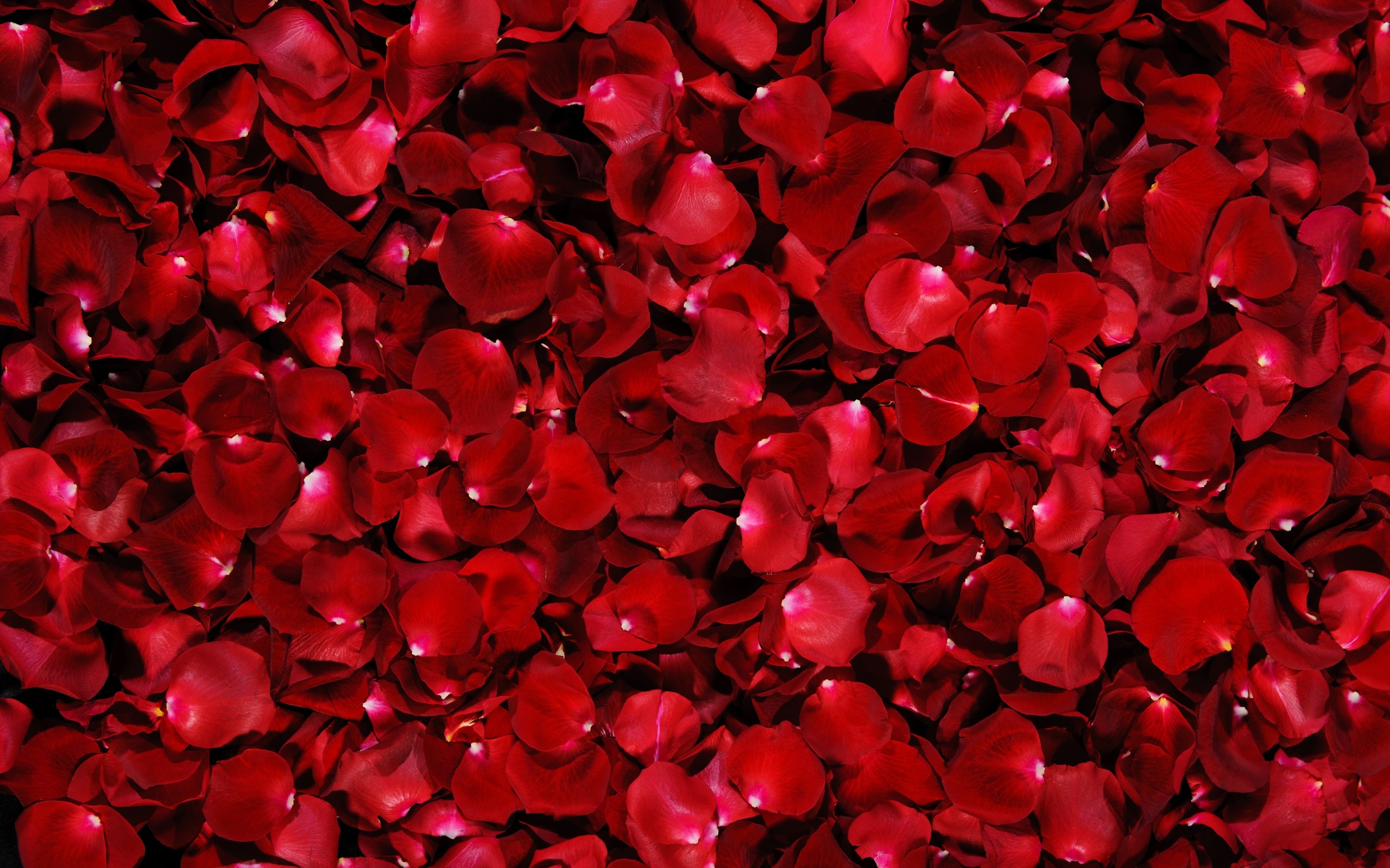 Red Rose Petals Wallpapers Red Rose Petals Myspace Backgrounds Red 2560x1600