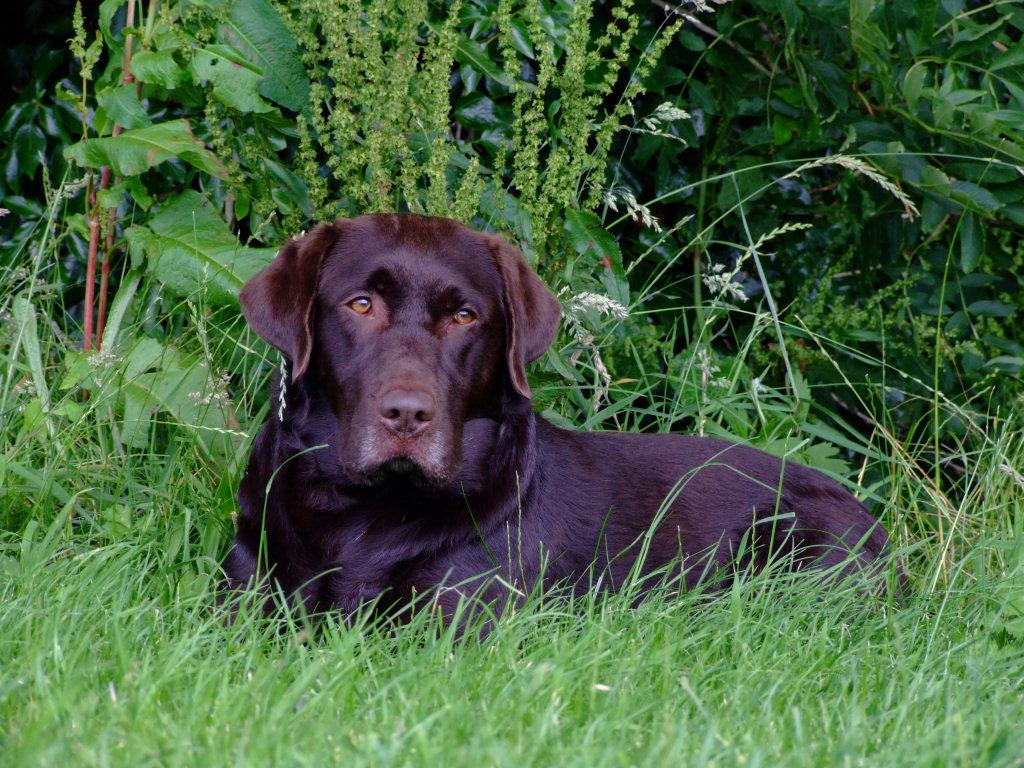 Brown Labrador 6 Brown Labrador 11 Chocolate Lab 10 1024x768