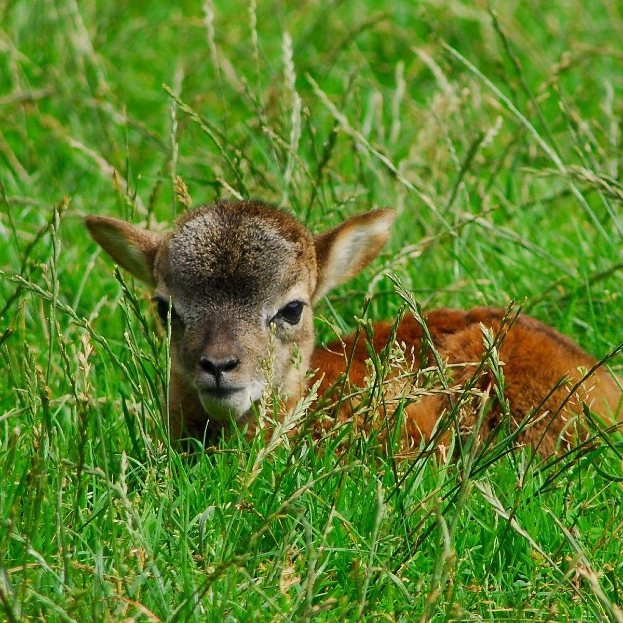 Baby Deer Wallpaper wallpaper wallpaper hd background desktop 2048x2048