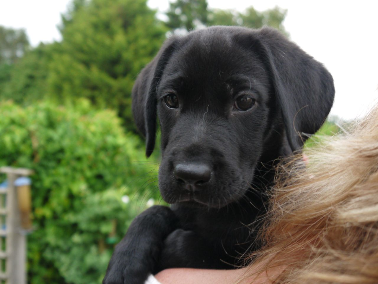 Black Female Labrador Puppy For Sale Guildford Surrey Pets Homes 1280x960