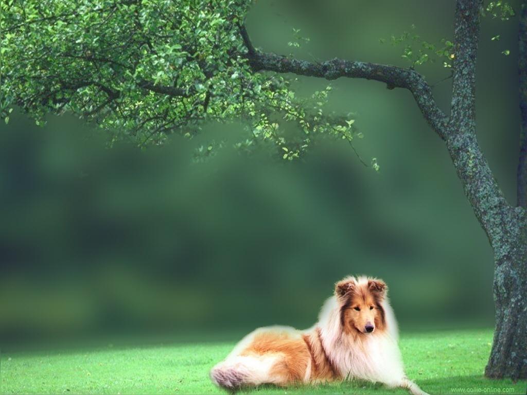 Collie Wallpaper   Dogs Wallpaper 7466853 1024x768