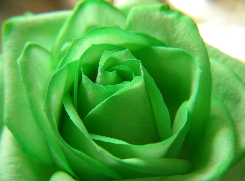 Free Download Rose Green Flower Beautiful Nature Wallpapers