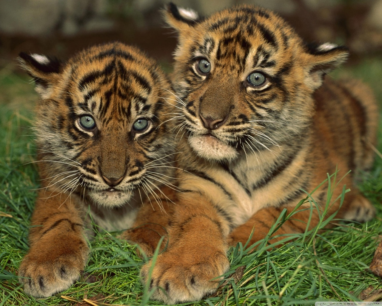 Sumatran Tiger Cubs HD desktop wallpaper High Definition 1280x1024