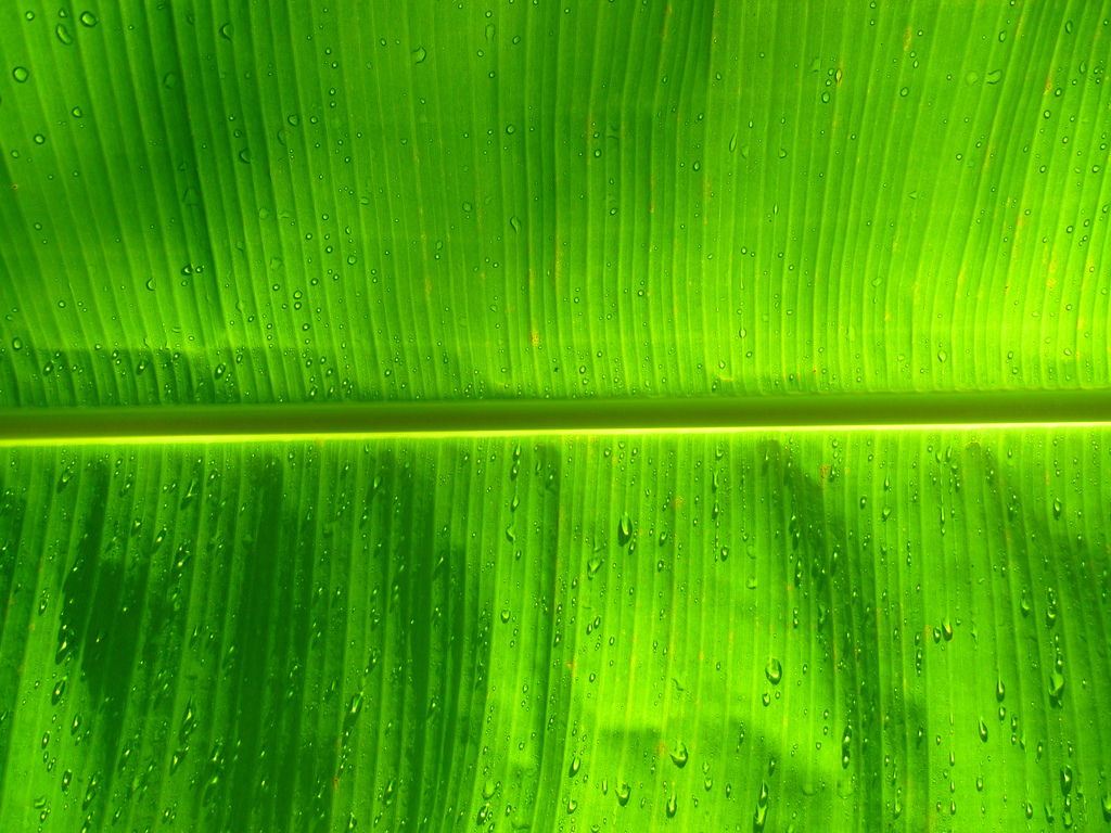 Banana Leaf Wallpaper Pattern Not so boring banana muffins 1024x768