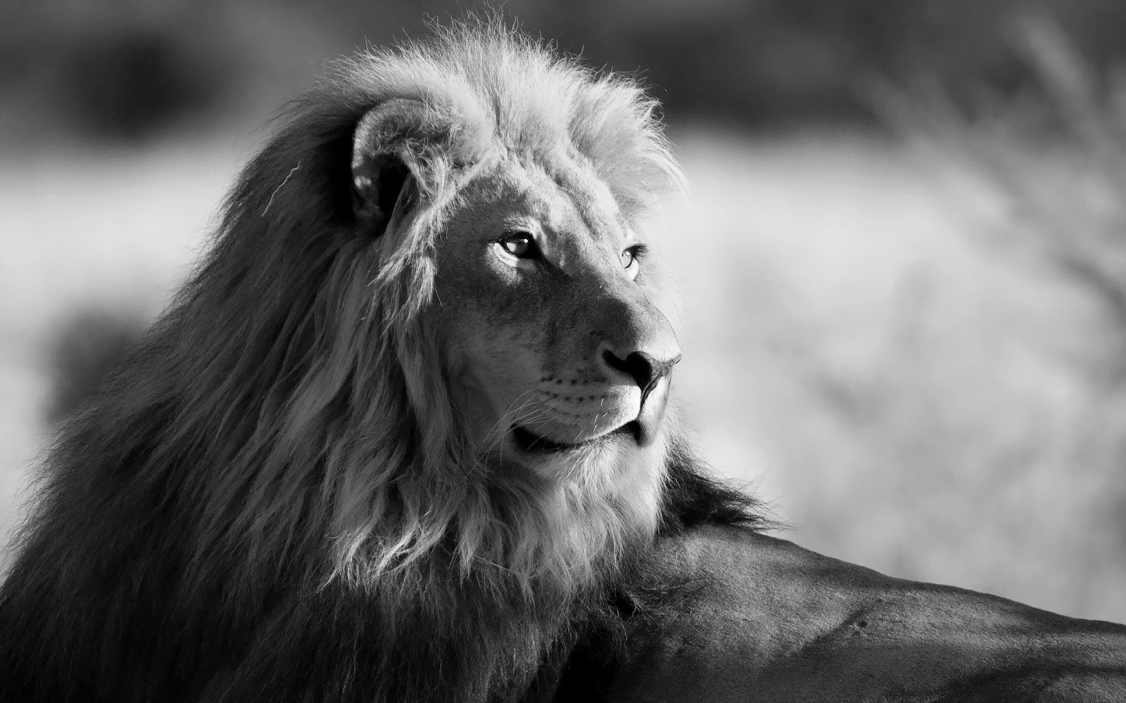 Black and white wallpaper with lion HD Animals Wallpapers 1600x1000