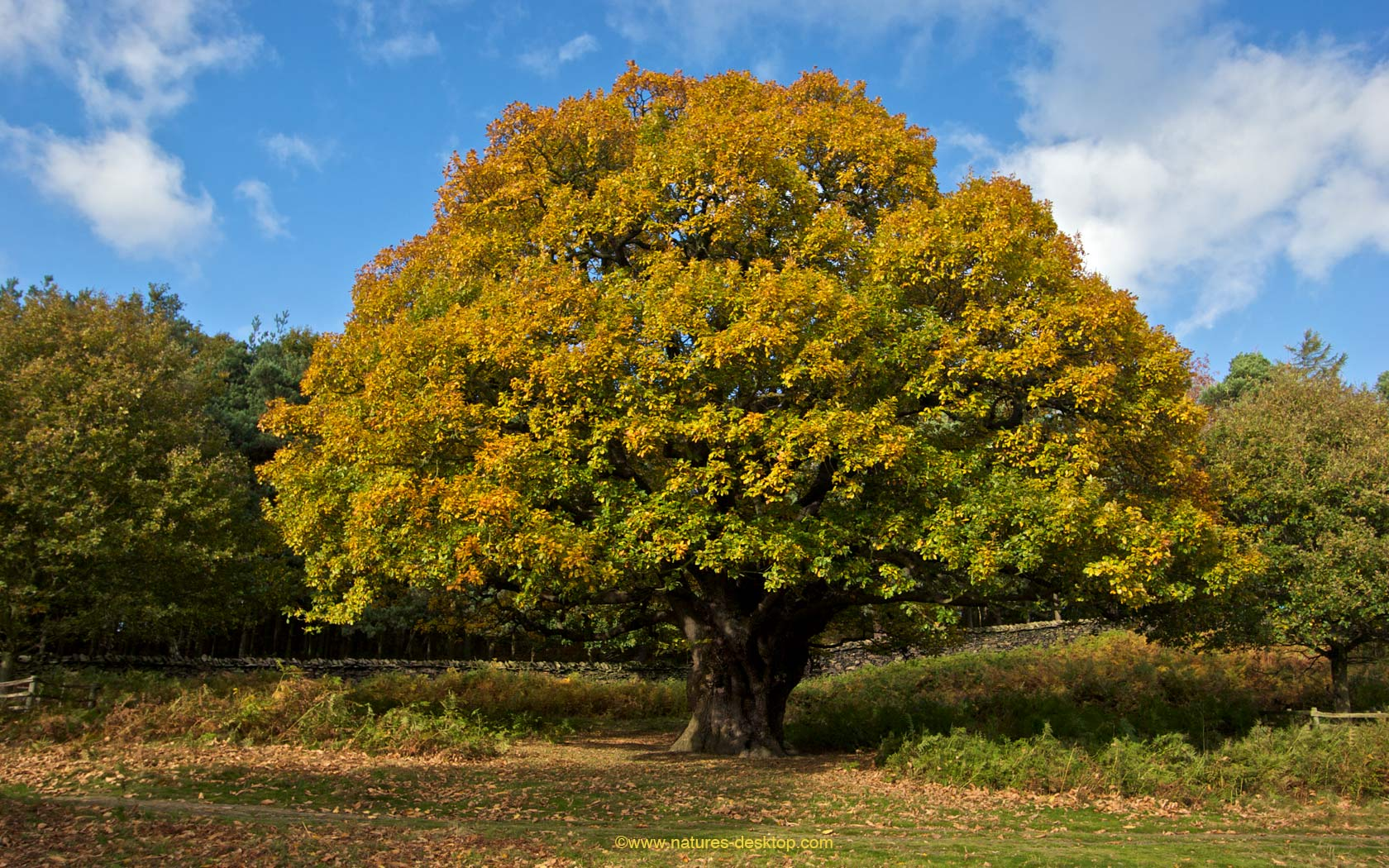 Oak Tree in Autumn   Tree Background   1680x1050 pixels 1680x1050