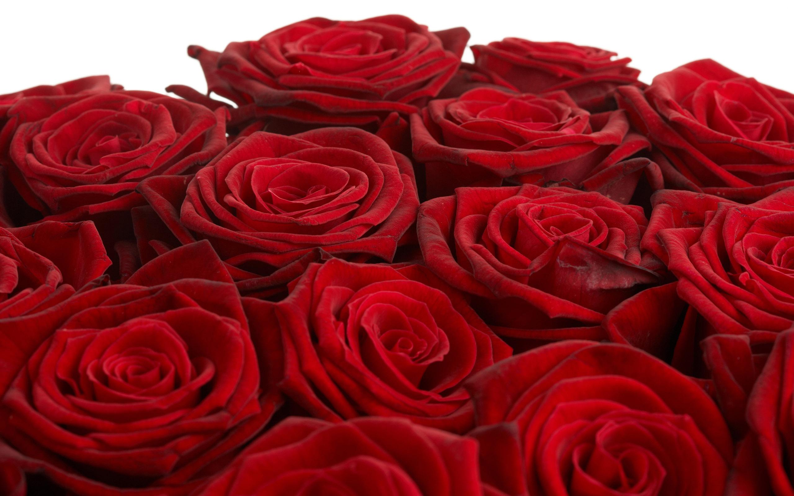 beautiful rose flowers wallpapers  wallpapersafari, Beautiful flower