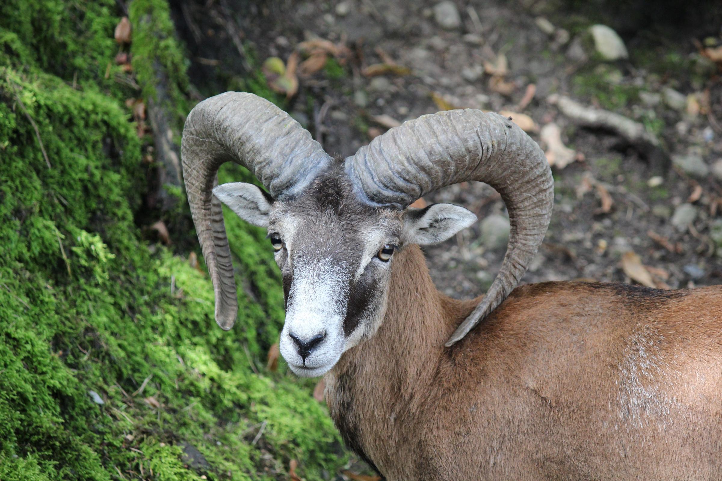 Mouflon 2400x1600