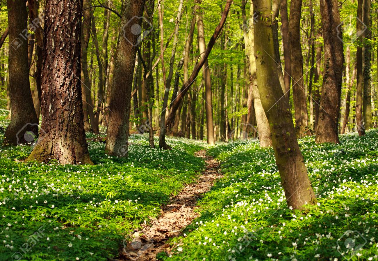 Trail In The Green Blossoming Forest In Spring Nature Background 1300x896