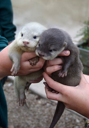 baby otters 350x503