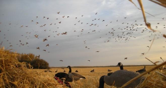 Mallard Hunting Wallpaper Waterfowl hunting outfitters 659x350