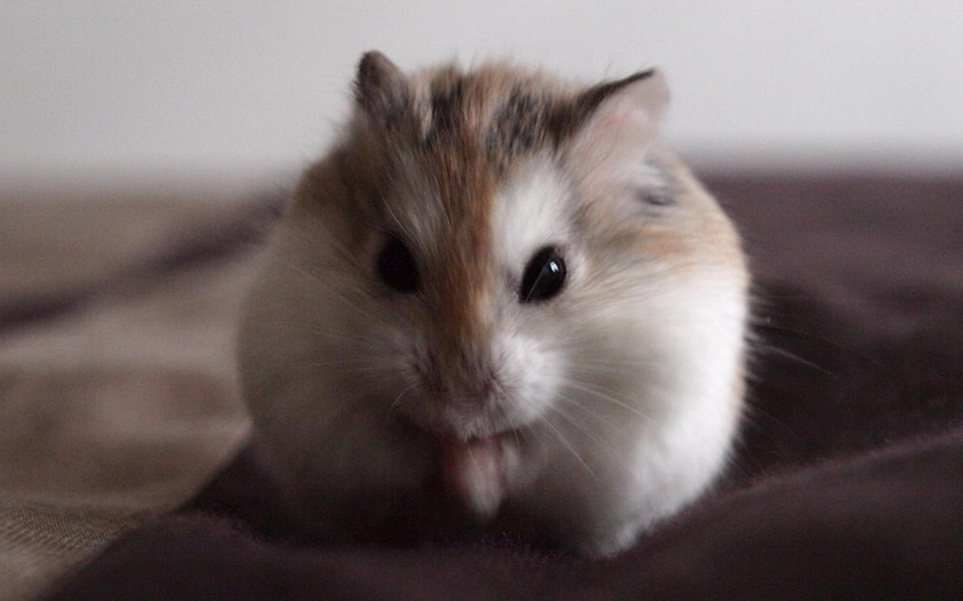 Cute Hamster id 191150 1920x1200