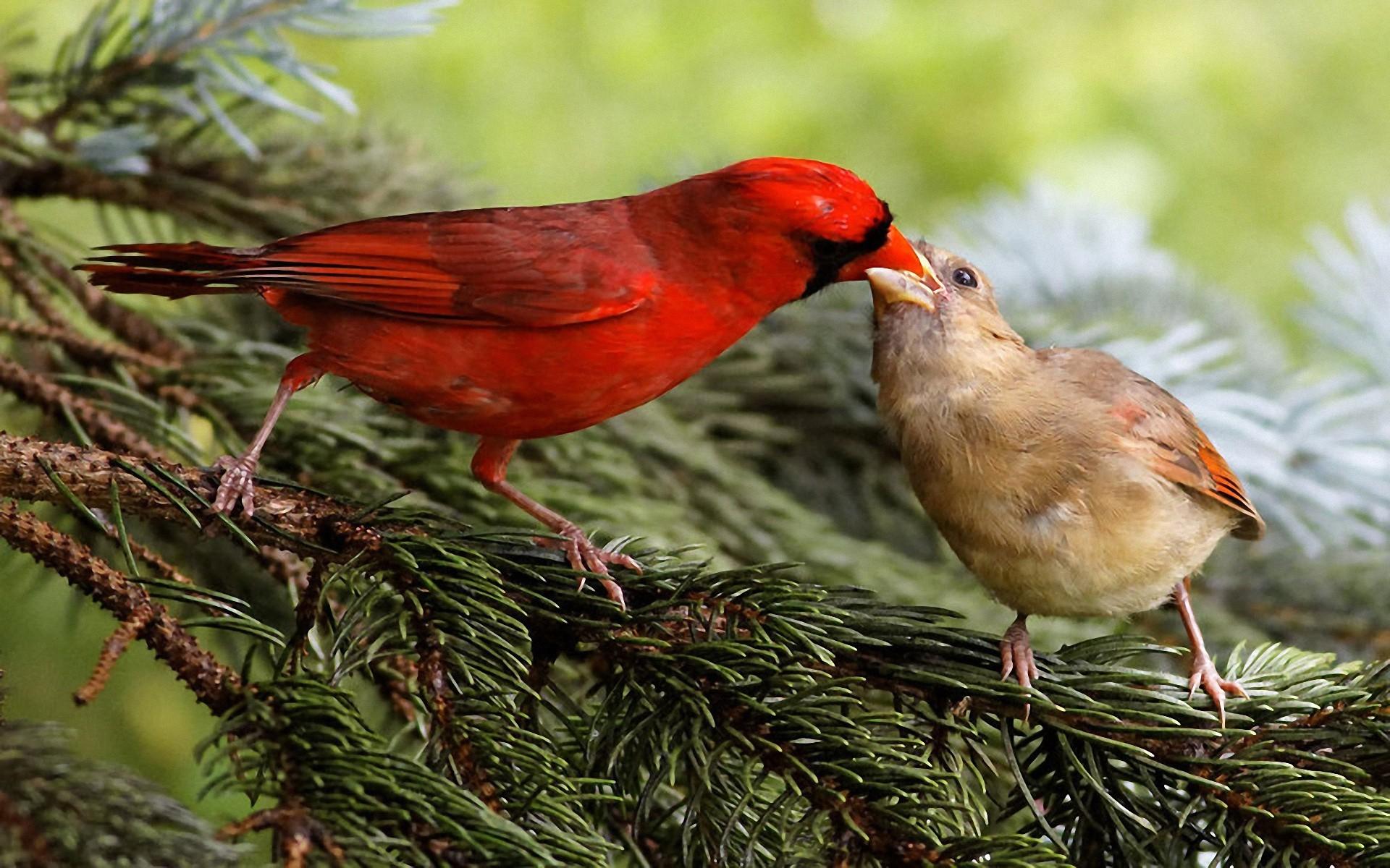 37 winter birds and animals wallpaper on wallpapersafari - Winter cardinal wallpaper ...