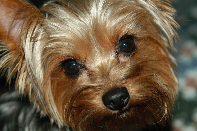 Yorkshire Terrier Pictures 13 640x426