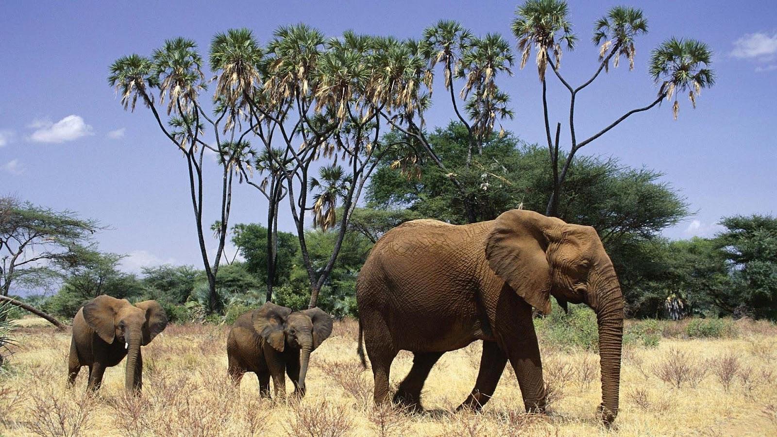 Free Download African Elephant Wallpaper Desktop Images Amp
