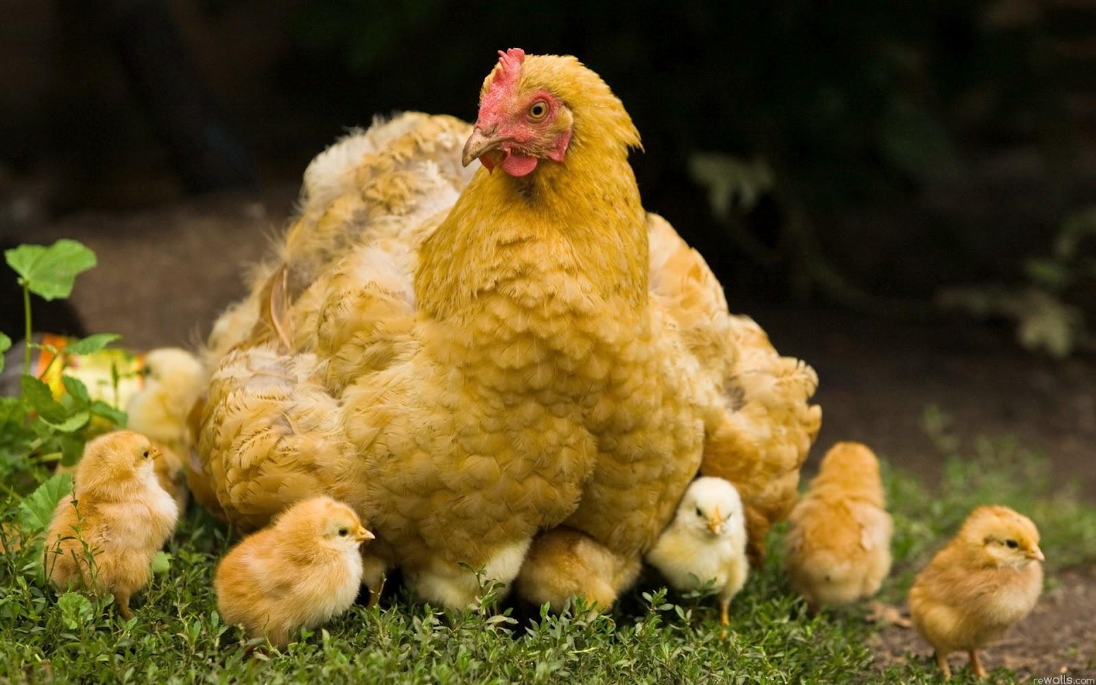 Chicken Wallpapers Fun Animals Wiki Videos Pictures Stories 1600x1000