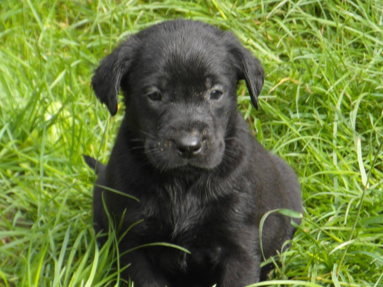 Pictures Of Black Labs Puppies   Desktop Backgrounds 1280x960